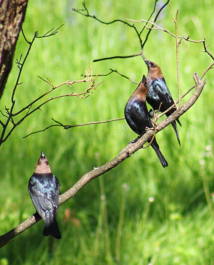 Molothrus Ater  (brown-headed Cowbird) - Males Free Public Domain Cc0 Image