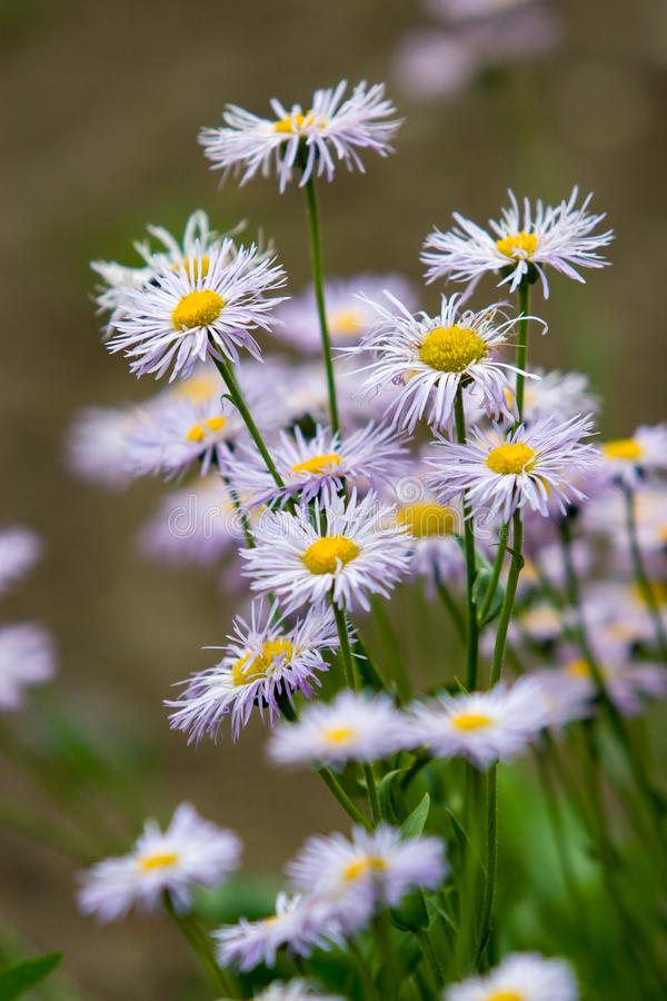 Molta estate bianca con i wildflowers porpora della famiglia dei fiori dell'aster come le margherite su un fondo verde vago Fra v fotografia stock libera da diritti