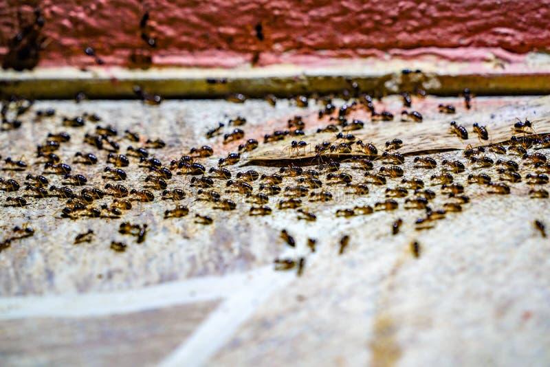 Molta passeggiata nera dell'esercito della formica nella fila sul pavimento del cemento fotografie stock libere da diritti