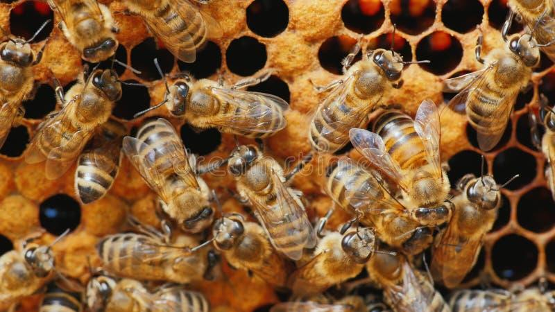 Molte api che lavorano alla struttura con miele, polline elaborato immagine stock