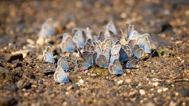Molte farfalle mussola-alate graziose che riposano insieme fotografia stock libera da diritti