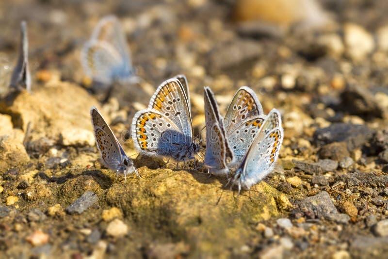 Molte farfalle mussola-alate graziose che riposano insieme immagine stock libera da diritti