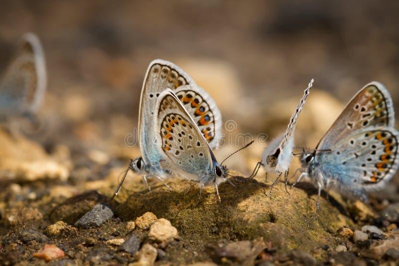 Molte farfalle mussola-alate graziose che riposano insieme fotografie stock