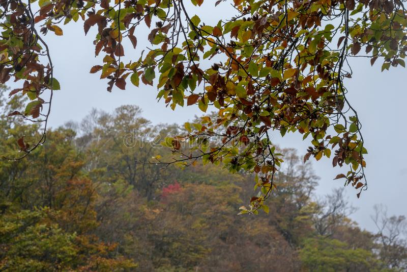 Molte foglie cominciano a cambiare i colori nel fallautumn immagini stock