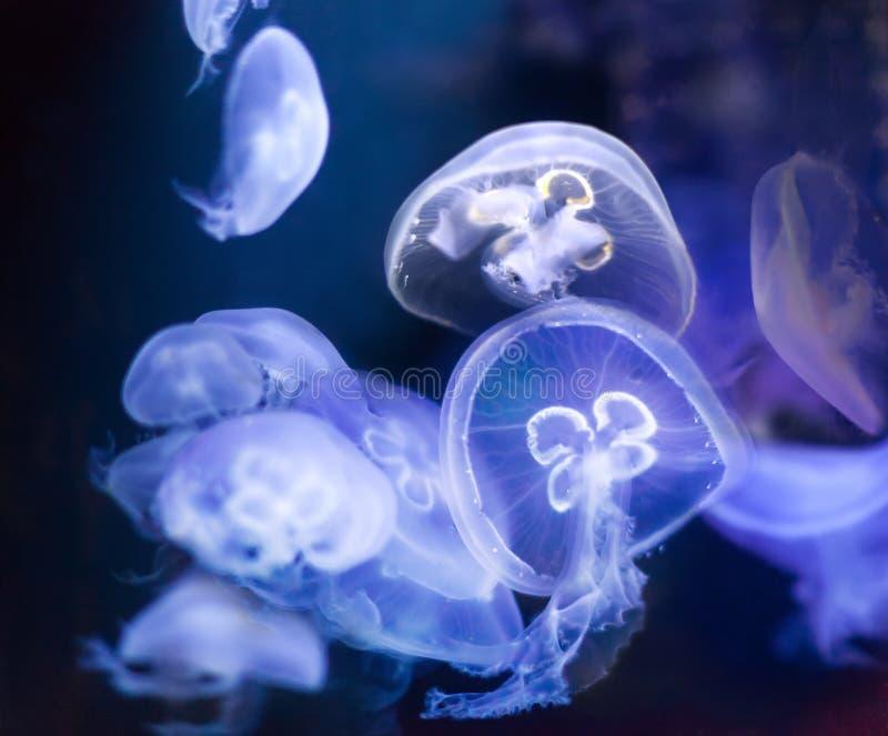 Molte meduse comuni immagini stock libere da diritti