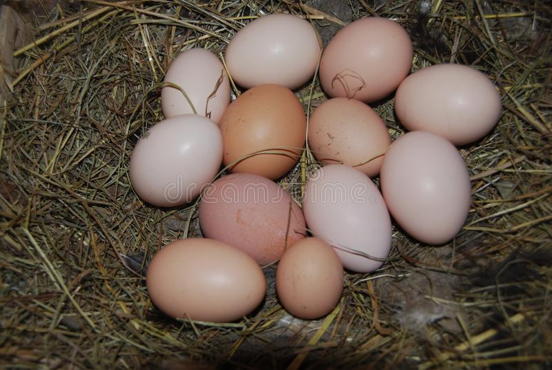 Molte uova del pollo in un nido immagini stock
