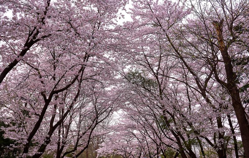 Molti alberi del fiore di ciliegia che creano un percorso incurvato nella foresta fotografia stock libera da diritti