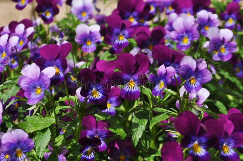 Molti bei fiori porpora della pansé, fondo festivo fotografia stock