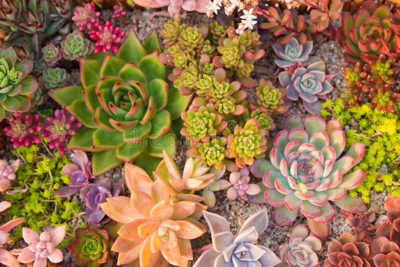 Molti bei succulenti fotografia stock libera da diritti