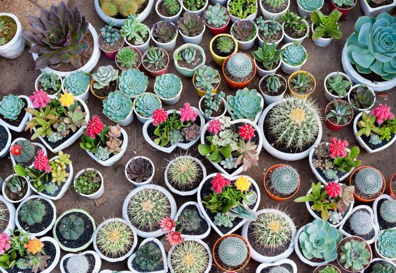 Molti cactus in vasi immagini stock