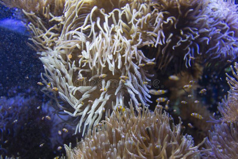Molti clownfishes in un anemone fotografie stock libere da diritti