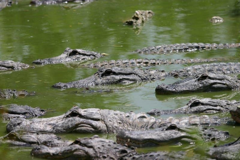 Molti coccodrilli immagine stock