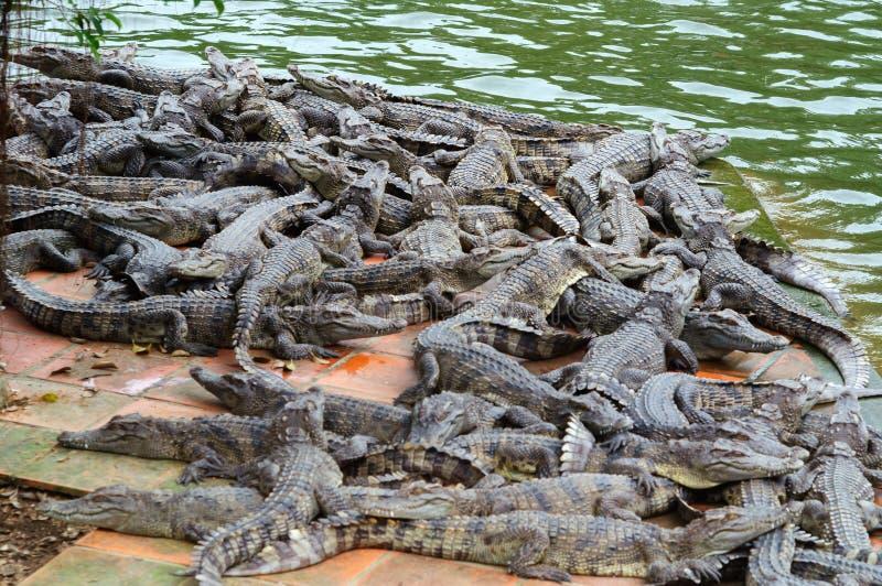 Molti coccodrilli ad un'azienda agricola del coccodrillo immagine stock libera da diritti