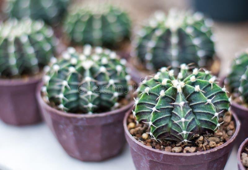 Molti del cactus sano piantato in vasi di plastica, è cactus rotondo spinoso immagine stock libera da diritti