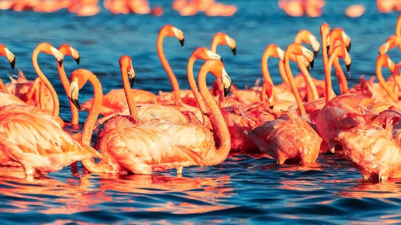 Molti fenicotteri selvaggi di corallo di rosa bei in laguna blu Natura selvaggia Fuoco selettivo fotografie stock libere da diritti