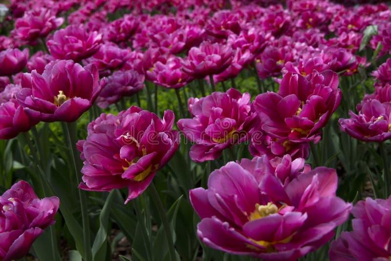 Molti fiori aperti fotografia stock