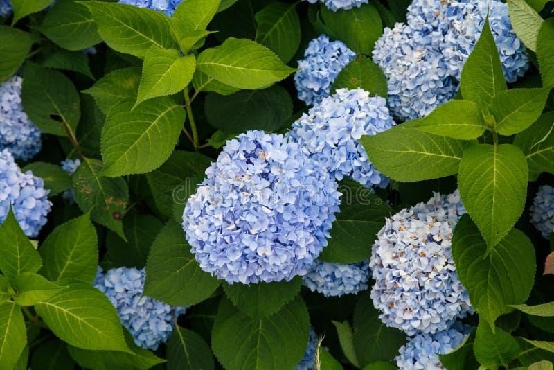 Molti fiori blu dell'ortensia fotografia stock libera da diritti