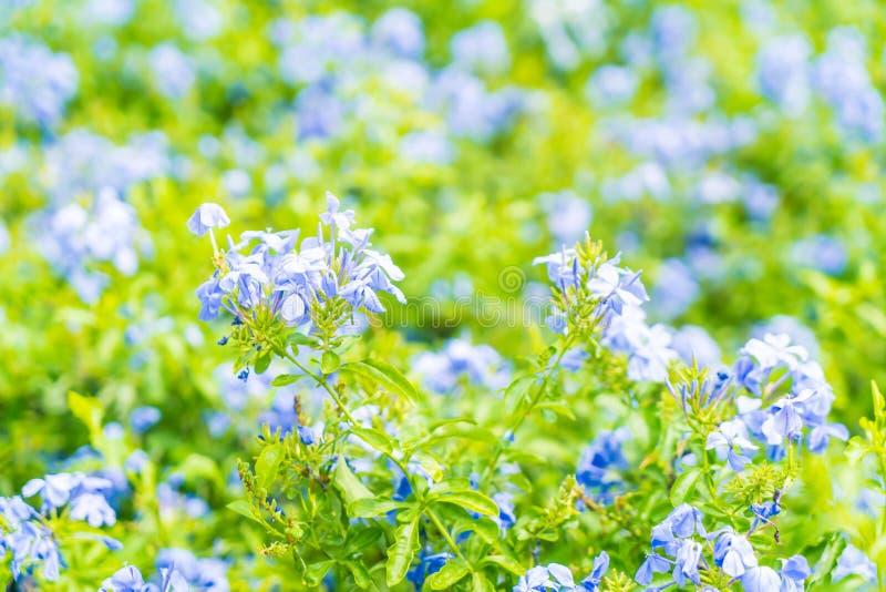 Molti fiori blu dell'ortensia nel giardino fotografia stock