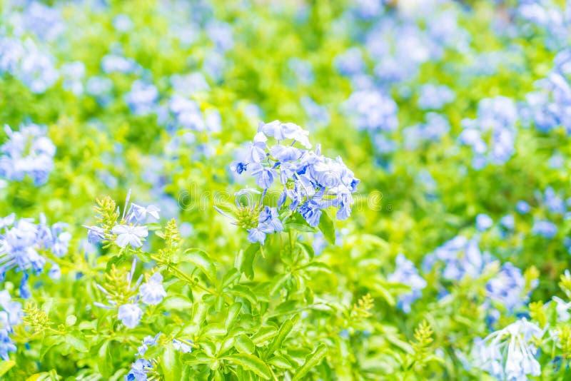 Molti fiori blu dell'ortensia nel giardino fotografia stock libera da diritti