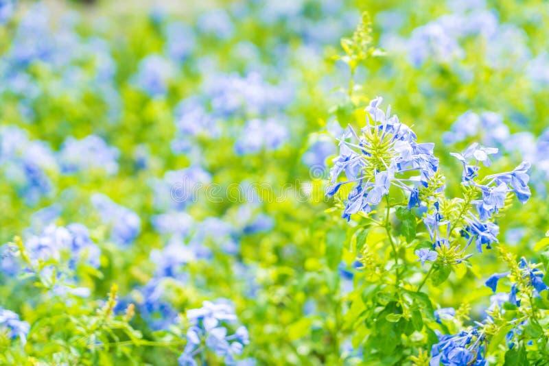 Molti fiori blu dell'ortensia nel giardino immagini stock
