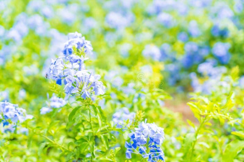 Molti fiori blu dell'ortensia nel giardino fotografie stock libere da diritti