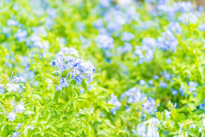 Molti fiori blu dell'ortensia nel giardino immagine stock