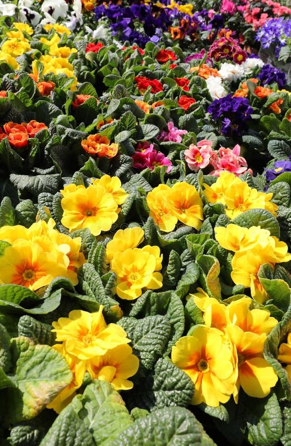 molti fiori e primaverine nel negozio di fiorista nel fiore marzo immagini stock