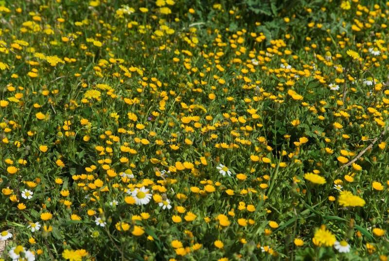 Download Molti Fiori Selvaggi Gialli Sul Campo Fotografia Stock - Immagine di wallpaper, colourful: 56881052