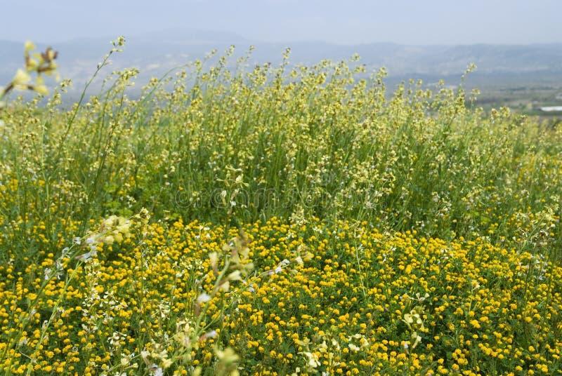 Download Molti Fiori Selvaggi Gialli Sul Campo Immagine Stock - Immagine di freschezza, campo: 56882125