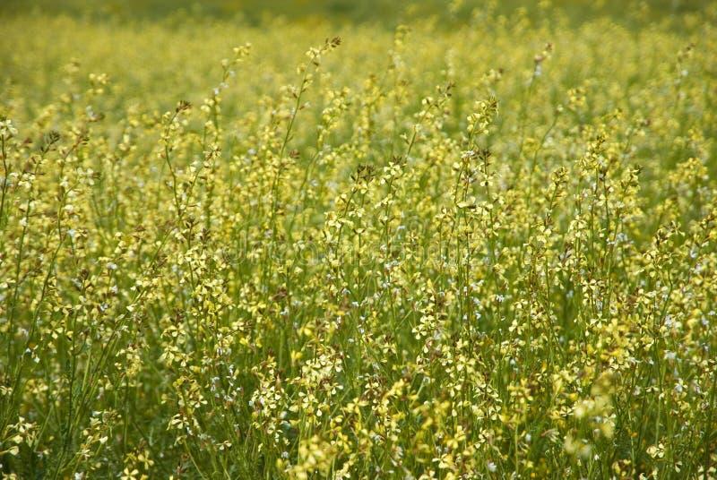 Download Molti Fiori Selvaggi Gialli Sul Campo Immagine Stock - Immagine di molti, ranuncolo: 56882585