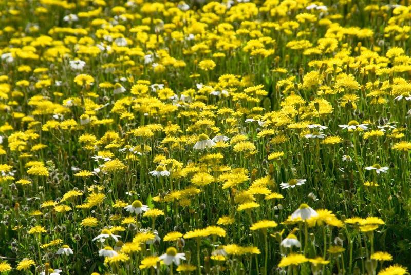 Download Molti Fiori Selvaggi Gialli Sul Campo Fotografia Stock - Immagine di lush, bellezza: 56883288