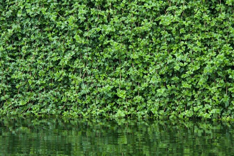 Molti fogli dell'edera coprono una parete fotografia stock