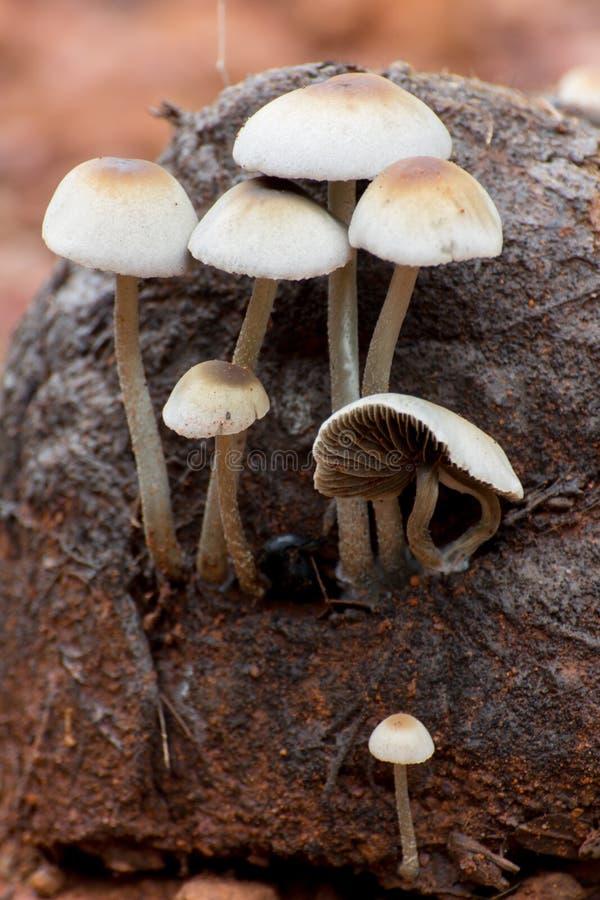 Molti funghi bianchi si sviluppano dallo sterco dell'elefante asiatico fotografie stock