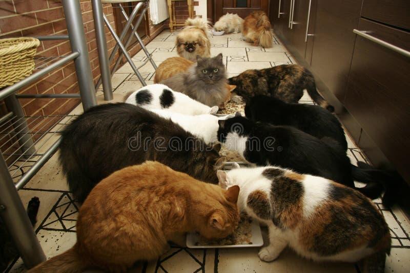 Molti gatti e piccoli cani che mangiano insieme immagini stock