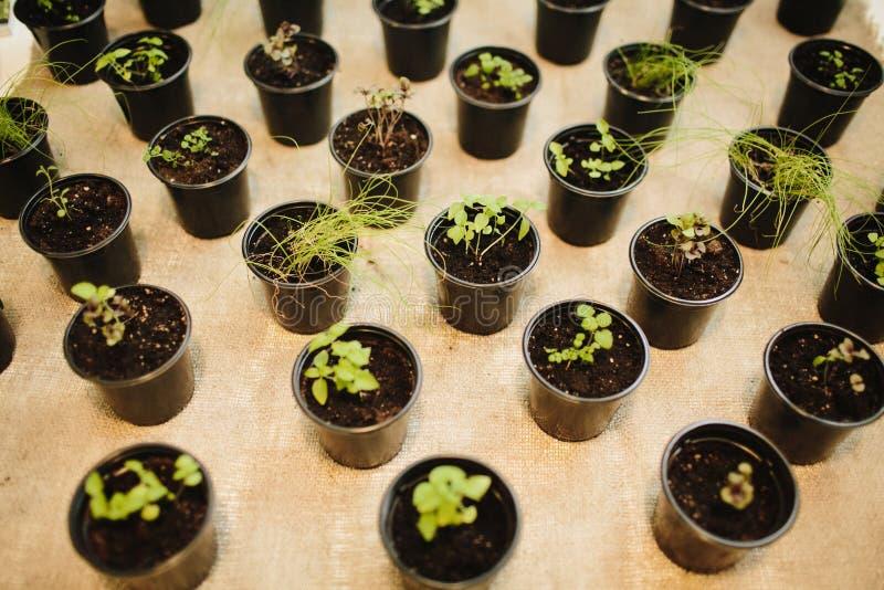 Molti germogli di varie piante in vasi fotografia stock libera da diritti