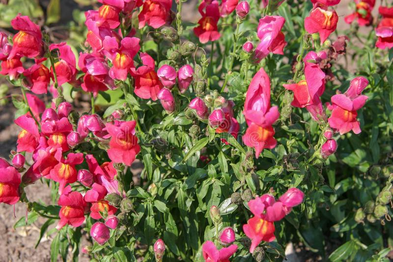 Molti germogli semiaperti dei fiori di colore fucsia con i gambi e le foglie verdi immagini stock