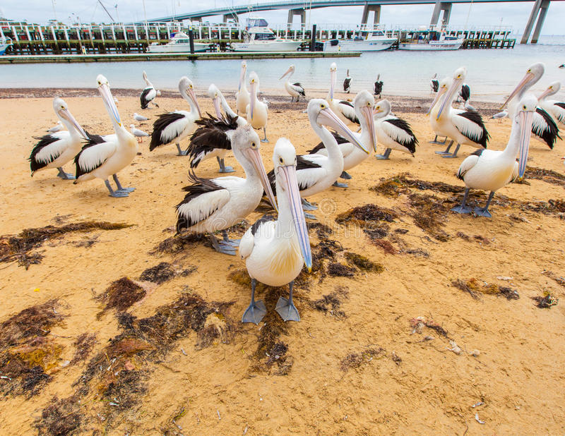 Molti pellicani sulla spiaggia di San Remo, Australia immagini stock