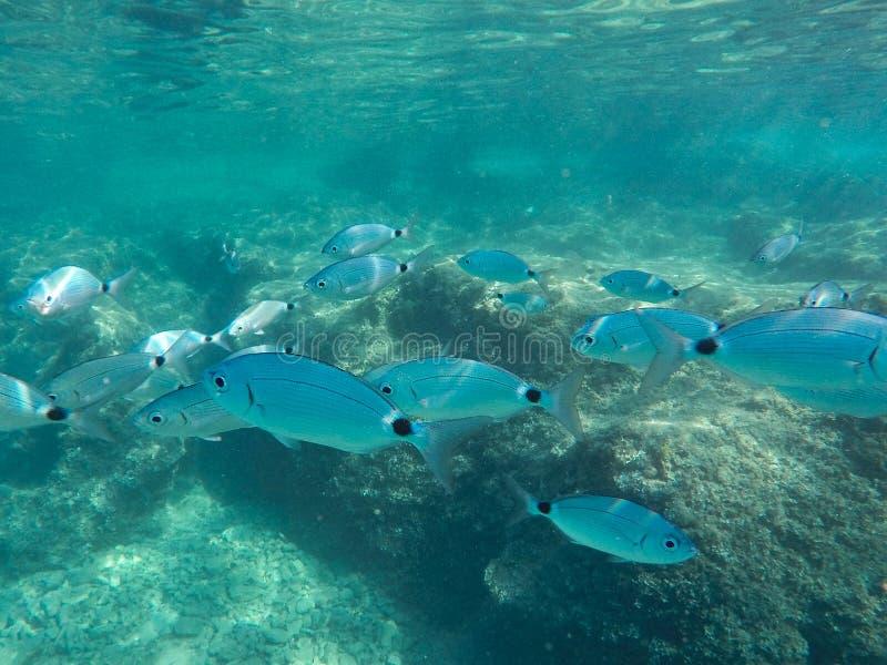 Molti pesci grossi nuotano vicino al tuffatore e al fondale marino immagine stock libera da diritti