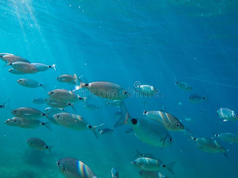 Molti pesci grossi nuotano vicino al tuffatore e al fondale marino fotografia stock libera da diritti