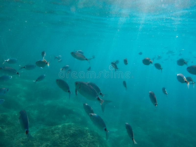 Molti pesci grossi nuotano vicino al tuffatore e al fondale marino immagine stock