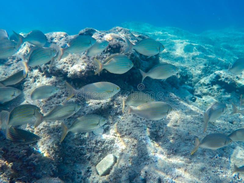Molti pesci grossi nuotano vicino al tuffatore e al fondale marino fotografia stock