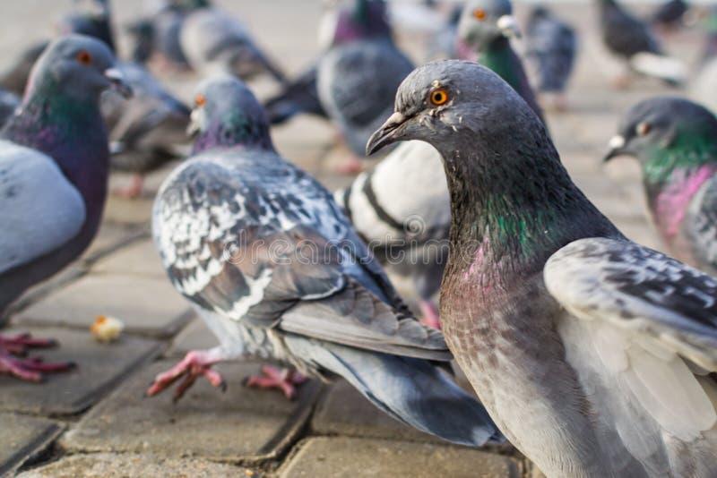 Molti piccioni fotografia stock libera da diritti