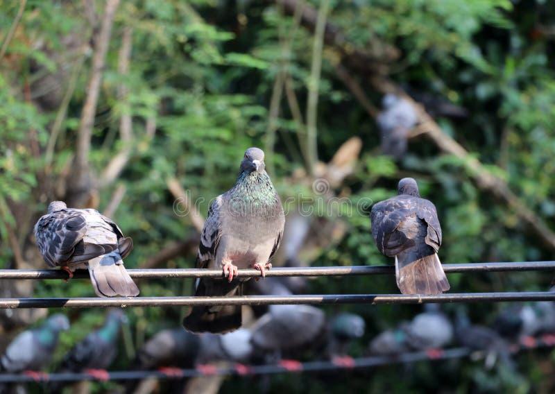 Molti piccioni si appollaiano sul cavo elettrico immagine stock