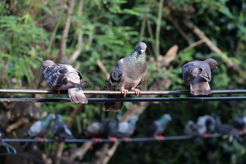 Molti piccioni si appollaiano sul cavo elettrico fotografie stock