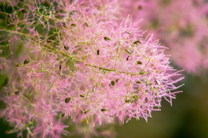 Molti piccoli fiori rosa aerati e lanuginosi Come in una fiaba I precedenti sono offuscati Fuoco selettivo fotografia stock libera da diritti