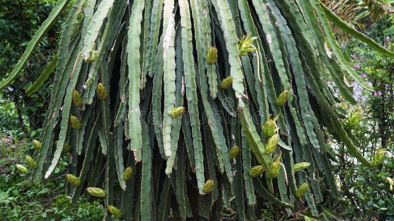 Molti piccoli frutti del drago sulle colonne della frutta del drago fotografie stock libere da diritti