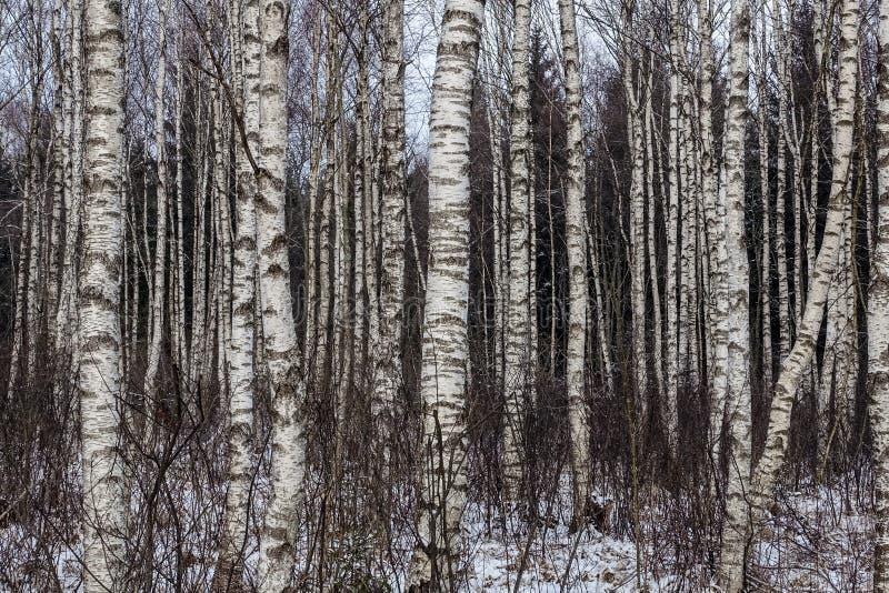 Molti tronchi bianchi della betulla immagini stock