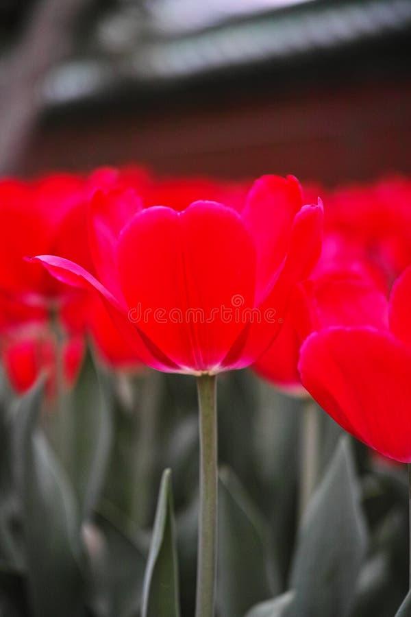 Molti tulipani immagini stock