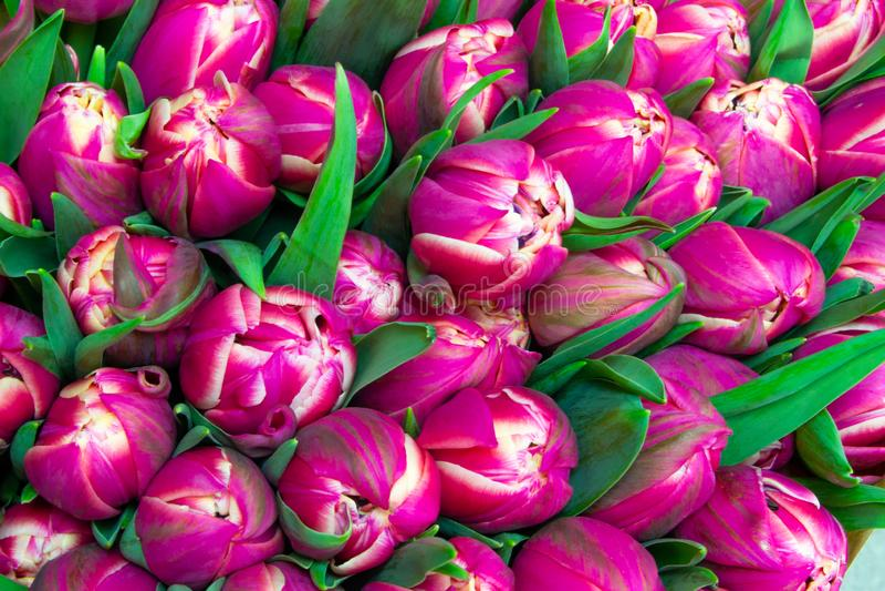 Molti tulipani di rosa vicini su fondo rosa floreale immagine stock