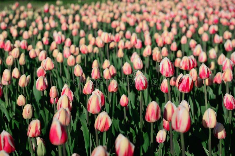 Molti tulipani rosa nell'ambito di luce solare di mattina nel parco Grande fine immagine stock libera da diritti